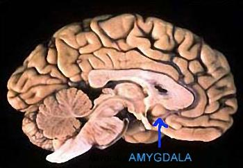Амигдала - структура, разположена дълбоко в мозъка и за която вече се знае, че играе важна роля в управлението на социалното поведение на човека...