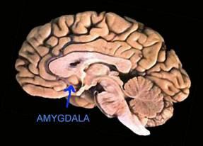 amygdala location