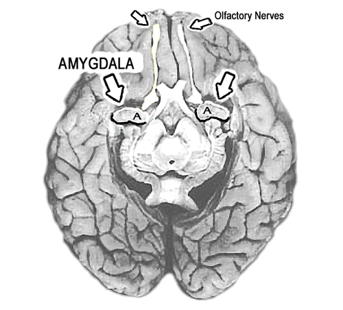 Pdf amygdala tickle your